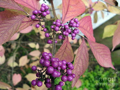 Photograph - Beauty Berry by Marlene Rose Besso