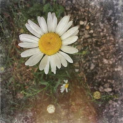 Daisies Photograph - Beauty Can Be Found, But Is Often by Amber Flowers