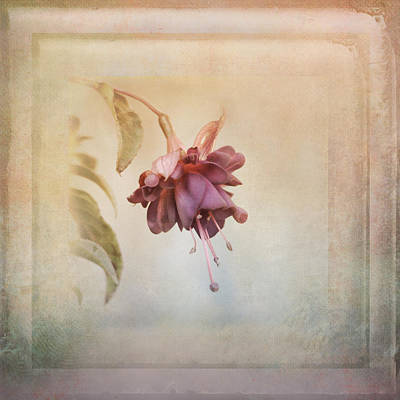 Beauty Fades Softly Framed Art Print by Susan Capuano