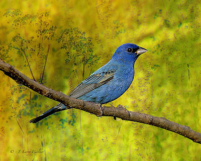 Print featuring the digital art Beauty In Nature - Indigo Bunting by J Larry Walker