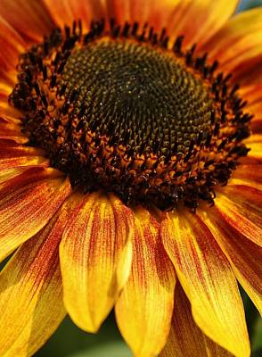 Photograph - Beauty Of A Sunflower by Bruce Bley