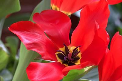 Photograph - Beauty Of Open Tulips by Carol Montoya