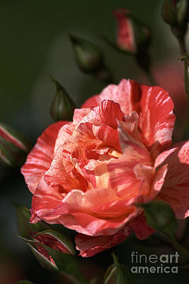 Print featuring the photograph Beauty Of Rose by Joy Watson