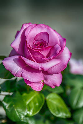 Photograph - Beauty Of The Pink Rose by John Haldane