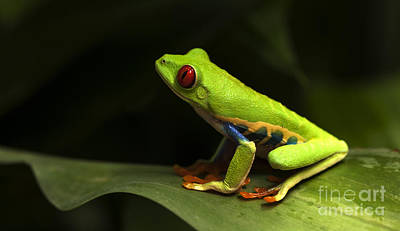 Photograph - Beauty Of Tree Frogs Costa Rica 1 by Bob Christopher