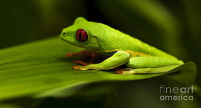 Photograph - Beauty Of Tree Frogs Costa Rica 4 by Bob Christopher