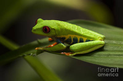 Photograph - Beauty Of Tree Frogs Costa Rica 5 by Bob Christopher