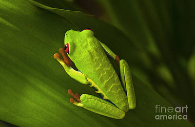 Photograph - Beauty Of Tree Frogs Costa Rica 6 by Bob Christopher
