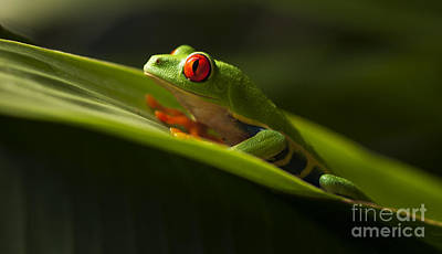 Photograph - Beauty Of Tree Frogs Costa Rica 7 by Bob Christopher
