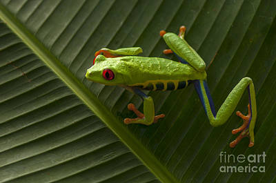 Photograph - Beauty Of Tree Frogs Costa Rica 8 by Bob Christopher