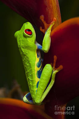 Photograph - Beauty Of Tree Frogs Costa Rica 9 by Bob Christopher