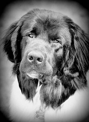 Newfoundland Puppy Photograph - Beauty Pup by Barbara Dudley