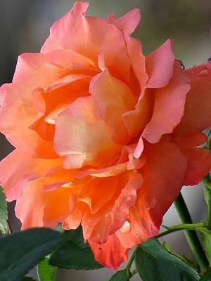Rose Photograph - Beauty Rose by Zina Stromberg