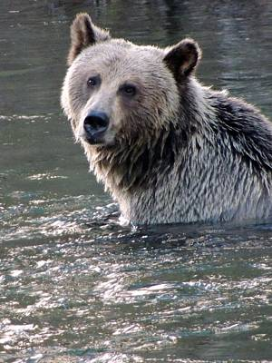Nature Of Bear. Nature Of Bear In Water.grizzly Photograph - Beauty Two by Cathy MacMillan