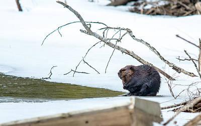 Photograph - Beaver  by Cheryl Baxter