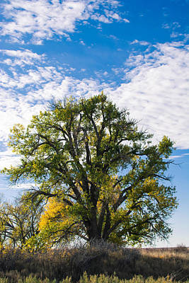 Photograph - Beaver Cottonwood by Nathan Hillis