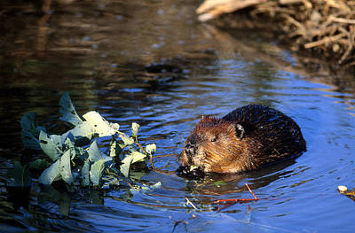 Gnawing Photograph - Beaver Eating by Paul J. Fusco