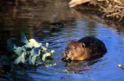 Beaver Eating Art Print