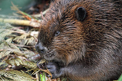 Photograph - Beaver Eating by Peggy Collins