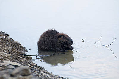 Digital Art - Beaver In The Shallows by Chris Flees