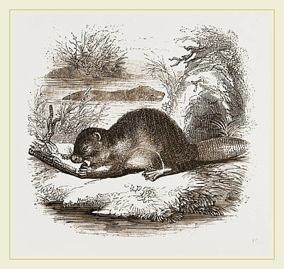 Beaver Drawing - Beaver by Litz Collection