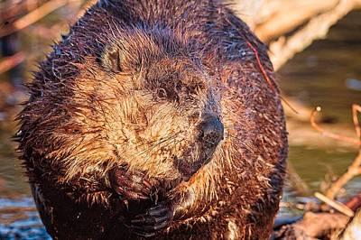 Photograph - Beaver Portrait Bellamy Reservoir by Jeff Sinon