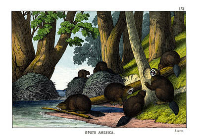 Beaver Drawing - Beaver by Splendid Art Prints