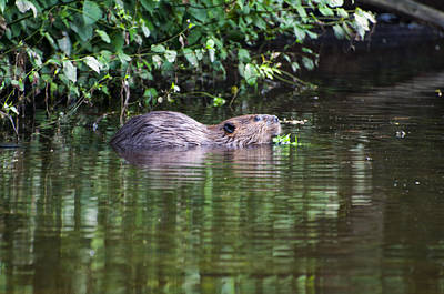 beaver swims in NC lake Print by Chris Flees