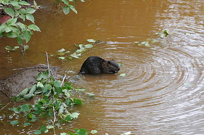 Beaver Youngster At Lunch Art Print by Sandra Updyke