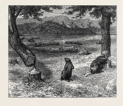 Beaver Drawing - Beavers Cutting Down Trees by English School