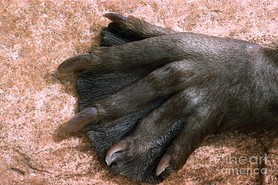 Photograph - Beavers Hind Foot by V B Scheffer