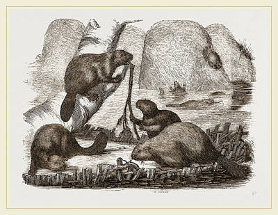 Beaver Drawing - Beavers by Litz Collection
