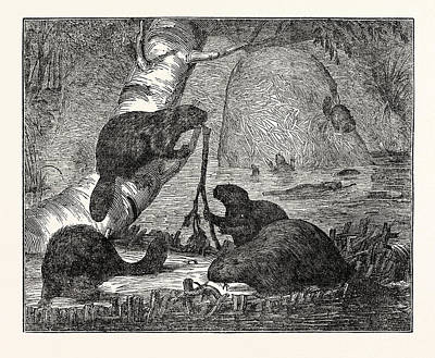 Beaver Drawing - Beavers With Their Huts And A Dam by English School