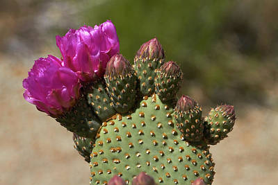 Cactaceae Photograph - Beavertail Cactus In Flower, Found Only by David Wall