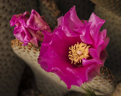 Photograph - Beavertail Cactus by Lee Kirchhevel