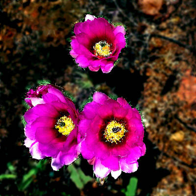 Painting - Beavetail Cactus Flowers by Bob and Nadine Johnston