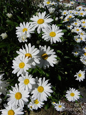 Photograph - Bed Of Daisies by KD Johnson