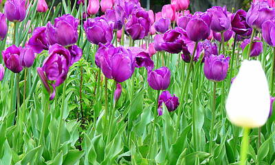 Photograph - Bed Of Purple Tulips And Single White Tulip by Jeff Lowe