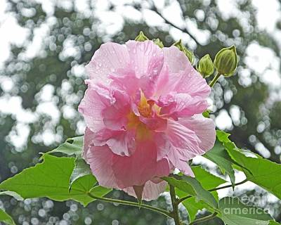 Photograph - Bedazzled By The Light Louisiana Confederate Rose by Lizi Beard-Ward