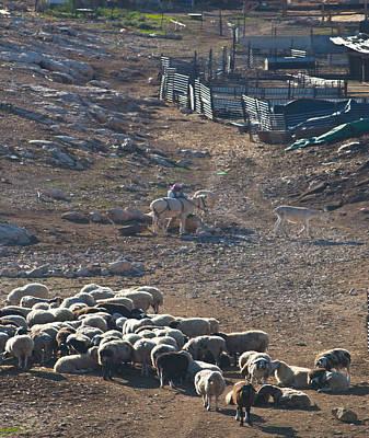 Jordanian Photograph - Bedouin Livestock by Don Wolf
