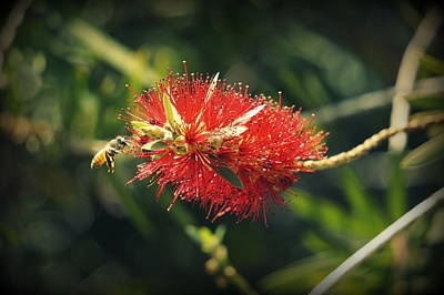 Photograph - Bee And A Bottlebrush by Laurie Perry