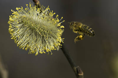 Classic Golf - Bee and a male flowering catkin by Patrick Kessler