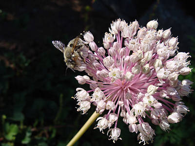Photograph - Bee And Allium by Cheryl Hoyle