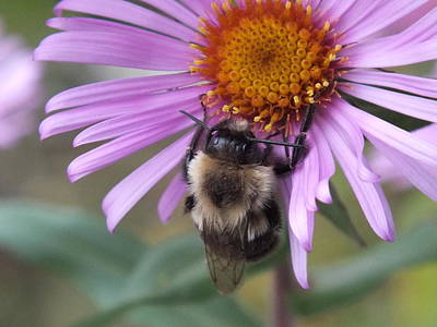 Photograph - Bee And Aster by Gene Cyr