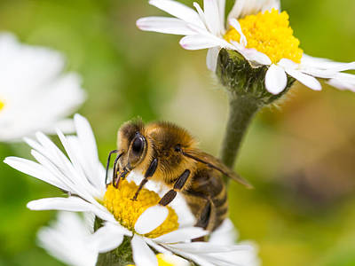 Photograph - Bee And Daisies by Gary Gillette