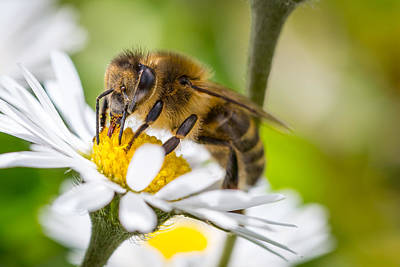 Photograph - Bee And Daisy by Gary Gillette