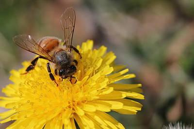 Bee And Dandelion Art Print by Lorri Crossno