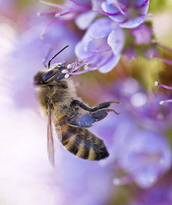 Photograph - Bee And Echium by Priya Ghose
