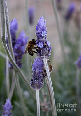 Photograph - Bee And Lavender by Amanda Holmes Tzafrir