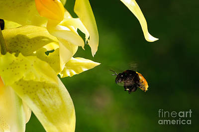 Floral Photograph - Bee And Orchid by Oscar Gutierrez